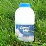 خواص و فواید شیر شتر